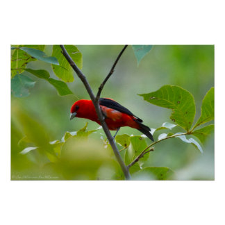 Male Scarlet Tanager in the Summer Green Poster