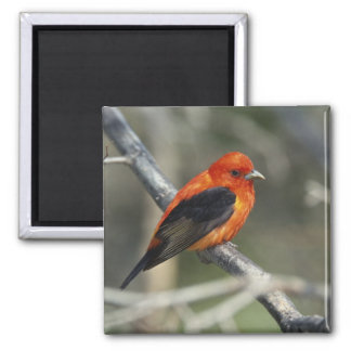 Male Scarlet Tanager, Piranga olivacea 2 Inch Square Magnet