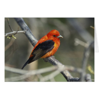 Male Scarlet Tanager, Piranga olivacea Greeting Card
