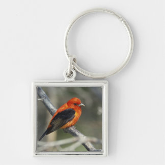 Male Scarlet Tanager, Piranga olivacea Keychain