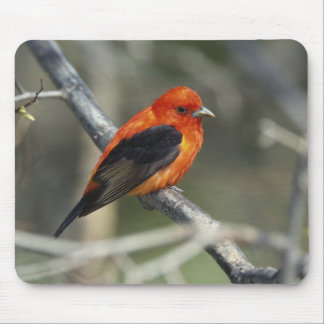 Male Scarlet Tanager, Piranga olivacea Mouse Pad