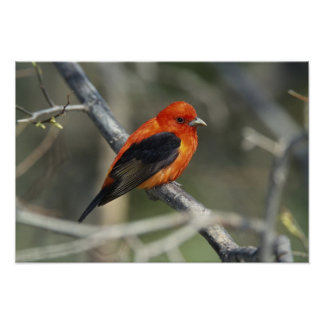 Male Scarlet Tanager, Piranga olivacea Print