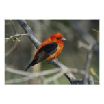 Male Scarlet Tanager, Piranga olivacea Poster