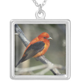 Male Scarlet Tanager, Piranga olivacea Silver Plated Necklace