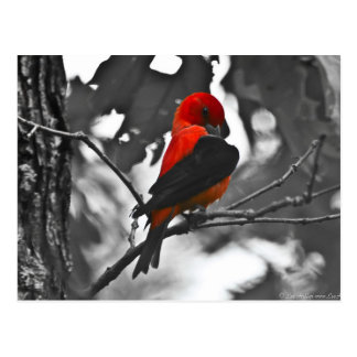 Male Scarlet Tanager Postcard