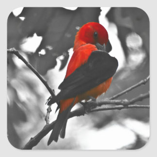 Male Scarlet Tanager Square Sticker