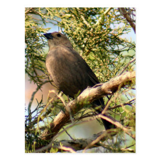 Male Shiny Cowbird Photo Postcard