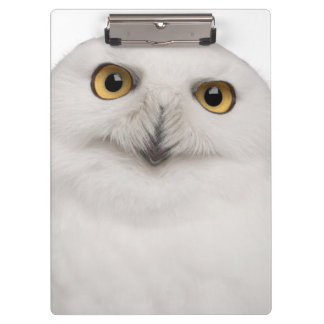 Male Snowy Owl (Bubo scandiacus) is a large owl Clipboard