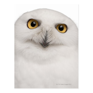 Male Snowy Owl (Bubo scandiacus) is a large owl Postcard