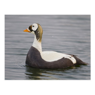 Male spectacled eider patrols a tundra pond 2 postcard