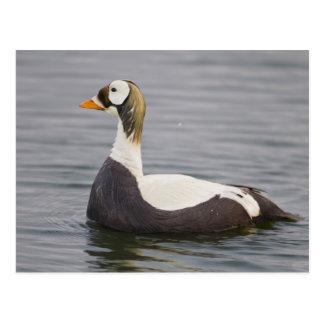 Male spectacled eider patrols a tundra pond 2 postcard