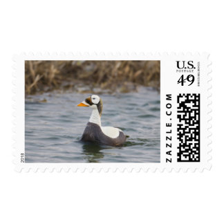 Male spectacled eider patrols a tundra pond postage