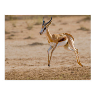 Male Springbok (Antidorcas Marsupialis) Jumping Postcard