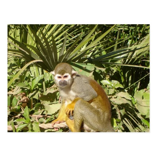 Male squirrel monkey post card