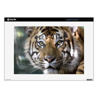 Male Sumatran Tiger (Panthera tigris sumatrae) Decal For Laptop