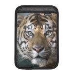 Male Sumatran Tiger (Panthera tigris sumatrae) iPad Mini Sleeves