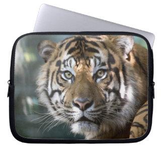 Male Sumatran Tiger (Panthera tigris sumatrae) Laptop Computer Sleeves