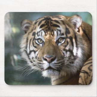 Male Sumatran Tiger (Panthera tigris sumatrae) Mouse Pad