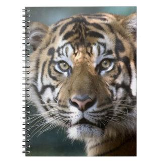 Male Sumatran Tiger (Panthera tigris sumatrae) Notebook