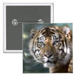 Male Sumatran Tiger (Panthera tigris sumatrae) Pinback Button
