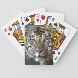 Male Sumatran Tiger (Panthera tigris sumatrae) Playing Cards