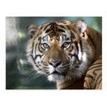 Male Sumatran Tiger (Panthera tigris sumatrae) Postcards