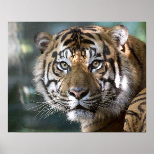 Male Sumatran Tiger (Panthera tigris sumatrae) Poster
