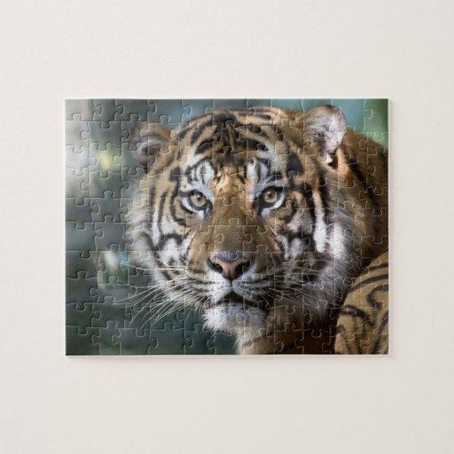 Male Sumatran Tiger (Panthera tigris sumatrae) Jigsaw Puzzles