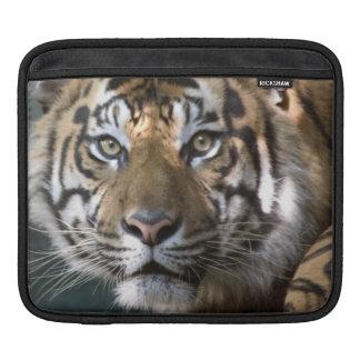 Male Sumatran Tiger (Panthera tigris sumatrae) Sleeve For iPads