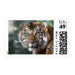 Male Sumatran Tiger (Panthera tigris sumatrae) Stamp