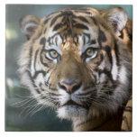 Male Sumatran Tiger (Panthera tigris sumatrae) Tile