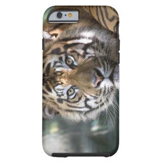 Male Sumatran Tiger (Panthera tigris sumatrae) Tough iPhone 6 Case