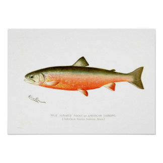Male Sunapee Trout Poster