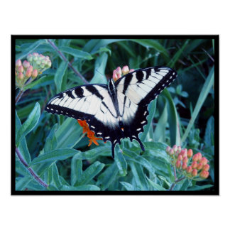 Male Tiger Swallowtail 2 Poster