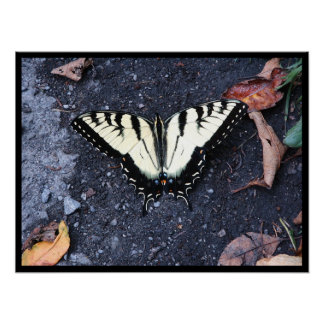 Male Tiger Swallowtail Poster
