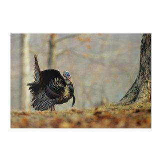 Male turkey strutting, Illinois Acrylic Wall Art