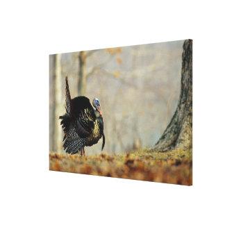 Male turkey strutting, Illinois Canvas Print