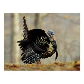 Male turkey strutting, Illinois Postcard
