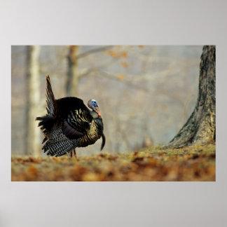 Male turkey strutting, Illinois Poster