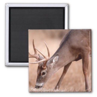 Male whitetail deer grazing 2 inch square magnet
