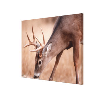 Male whitetail deer grazing canvas print