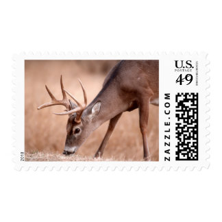 Male whitetail deer grazing postage