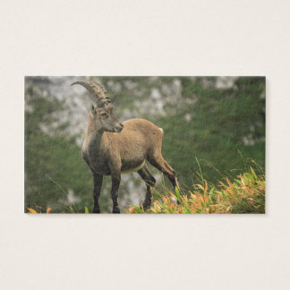 Male wild alpine, capra ibex, or steinbock business card