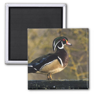 Male wood duck, Canada 2 Inch Square Magnet