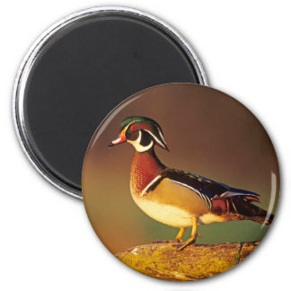 Male wood duck, Illinois 2 Inch Round Magnet