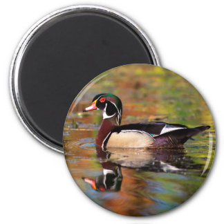 Male wood duck swims, California 2 Inch Round Magnet