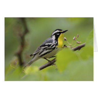 Male Yellow-throated Warbler, Dendroica Cards