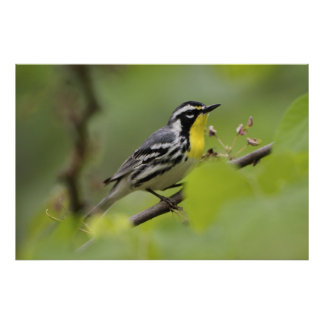 Male Yellow-throated Warbler, Dendroica Poster