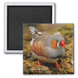 Male Zebra Finch on the Rocks Magnet
