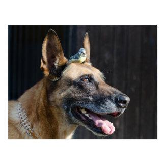 Malinois (perro) con Blaumeise Postales